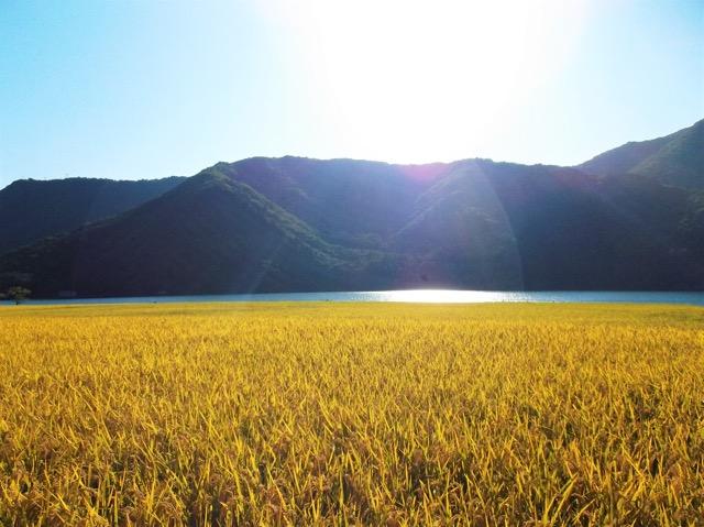 黄金色に輝く稲穂と湖